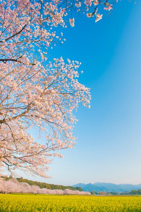 宮崎県 西都原古墳群の桜